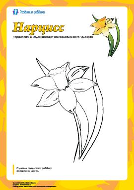 Раскраска «Нарцисс»