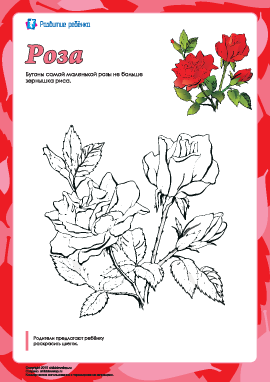 Раскраска «Роза»