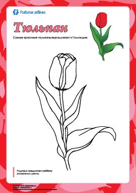 Раскраска «Тюльпан»