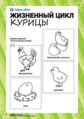 Раскраска «Жизненный цикл курицы»
