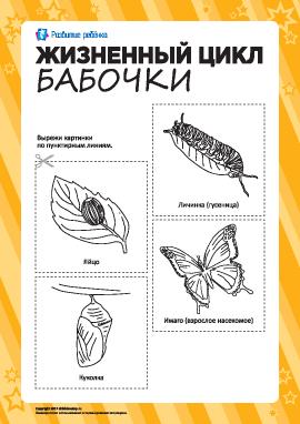 Раскраска «Жизненный цикл бабочки»
