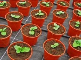 Эксперимент по выращиванию растений