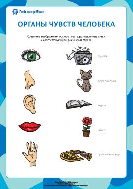 Изучаем пять органов чувств